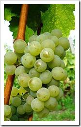 Sylvaner grapes in situ
