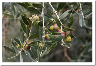 Moraiolo olives waiting to be picked