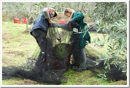 Pickers collecting the olives after they have been cleaned up of any dubious fruit, leaves and twigs.