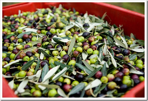 The harvested olives, ready for transport to the Frantoio.