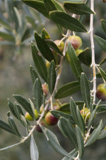 Olives waiting to be harvested for pressing into Olivolo