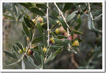 Olives waiting to be harvested in the Val di Chio