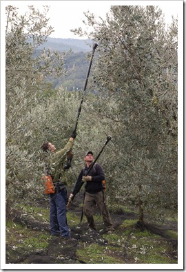 Special tools for harvesting olives used to shake the olives from the tree