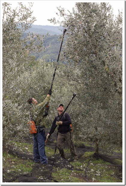 Workers harvesting olives using a special tool to vibrate the olives off the tree
