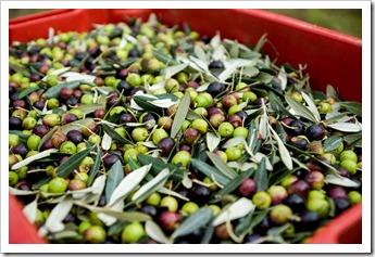 Freshly picked olives destined for the olive oil press
