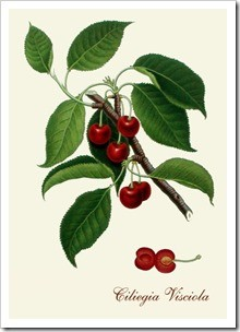 The Visciolo tree produces the Visciola cherry