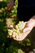 They take great care of the grapes to preserve the aromas in the wine