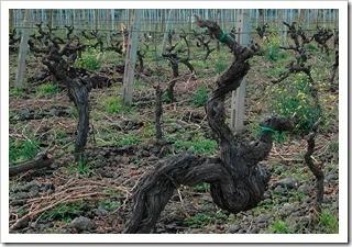 Pre-phylloxera vines at Marco de Grazia's Tenuta delle Terre Nere