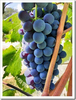 Nebbiolo grapes nearly ready for harvest at Barolo producer Ettore Germano