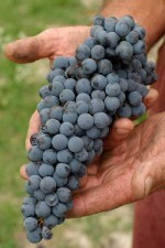 Grapes from the Produttori family farmers
