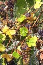 Moscato Bianco grapes drying on the wine, Cerruti Sol on dalluva.com
