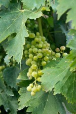 Albarola grapes ripening in the Cinque Terre vineyard.