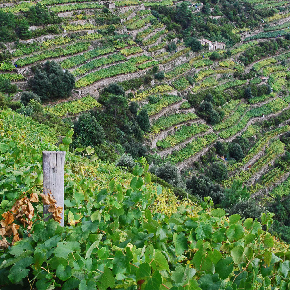 Terraced vineyards make the steep land workable along the Cinque Terre