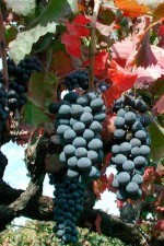 Sagrantino grapes nearly ready for vendemmia (harvest)