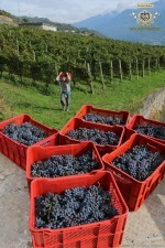 Time to harvest the Nebbiolo grapes