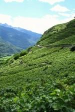 The Balgera vineyards, just west of Sondrio in the Valtellina